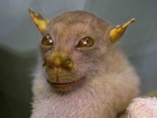 [Image: Philippine-Tube-nosed-Fruit-Bat.jpg]