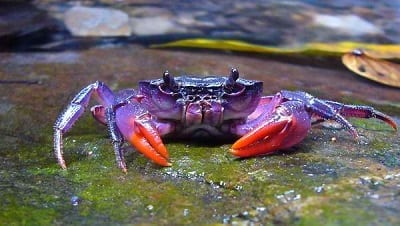 Purple Crabs