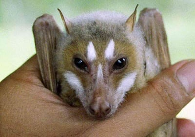 Stripe-faced Flying Fox