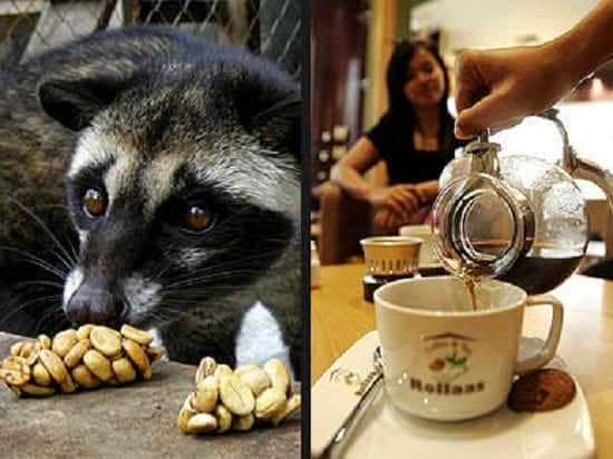 coffee alamid philippine palm civet