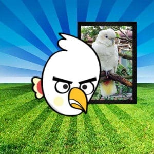philippine cockatoo pinoy angry birds