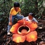 Rafflesia – Giant flower that smells like corpse