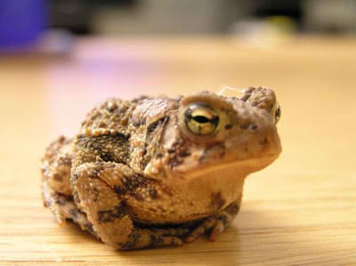Warts from Frog Urine + health myths + philippines