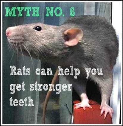 Rats can help you get stronger teeth