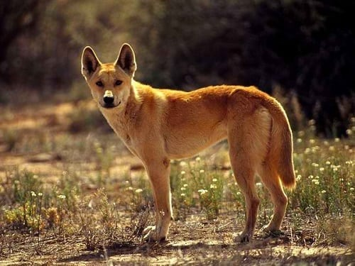 Dingo in the Philippines