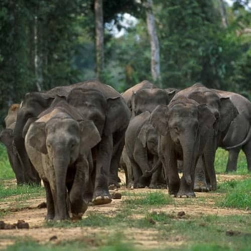 Dwarf elephants in the Philippines