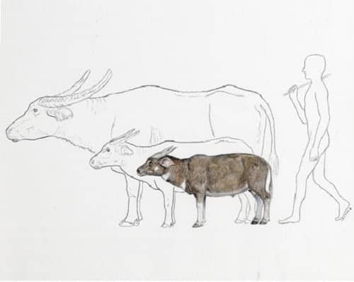 Pygmy buffaloes in the Philippines