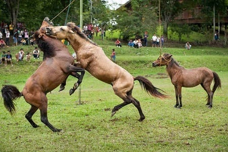 Horse-fighting in South Cotabato, Philippines